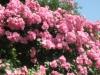 壁一面のバラ